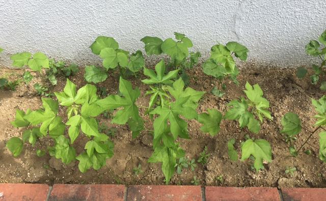 おぼろタオル コットン栽培
